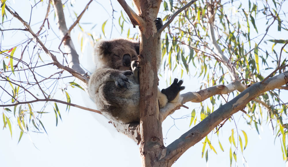 Am Tower Hill Koalas-11