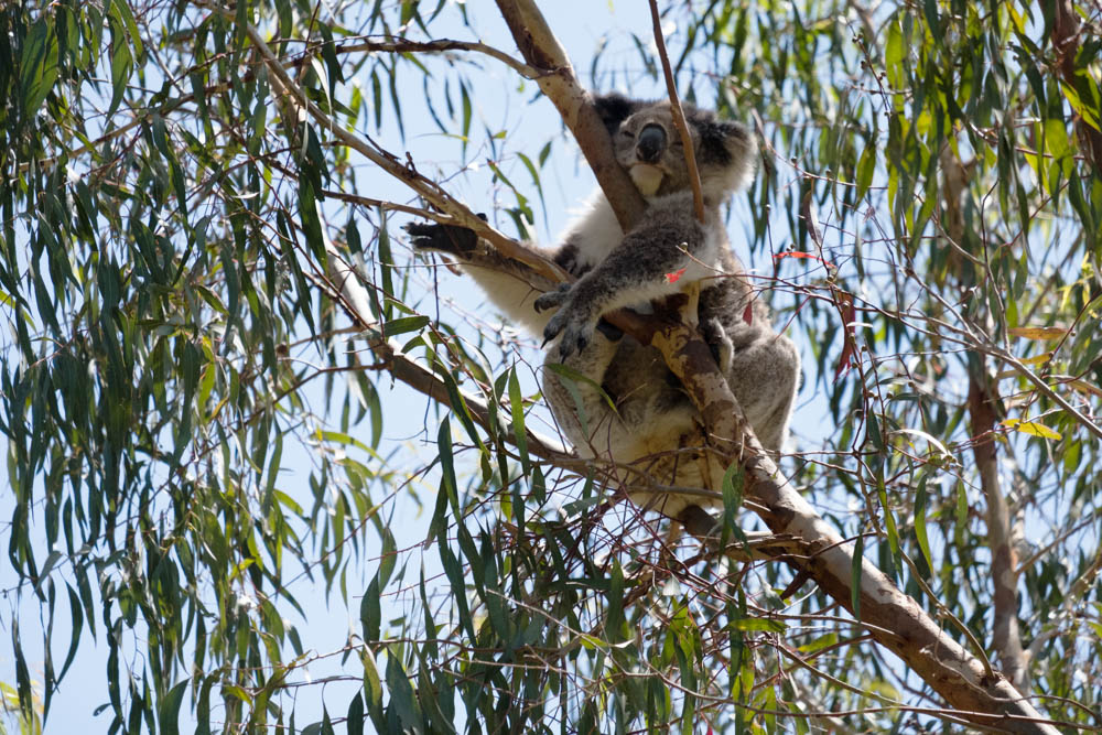 Am Tower Hill Koalas-5