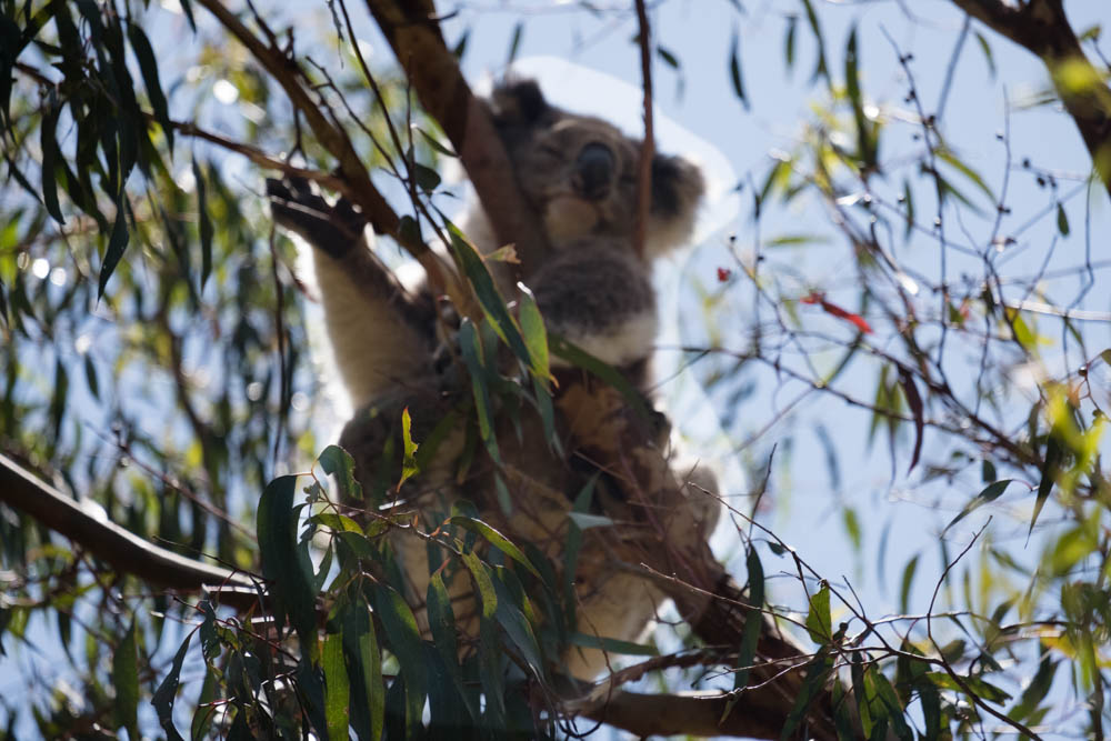Am Tower Hill Koalas-7